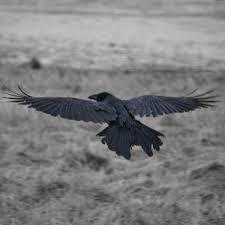 Common raven - Wikipedia. Photographer: Atli Harðarson. Taken in Seltjarnarnes, Gullbringusysla, Iceland.